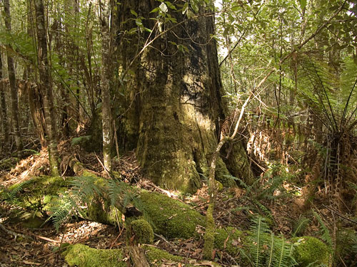 Rainforest Walks Tasmania, Tasmanian bird tours, Guided walks and Ecotours, bushwalking, Wilderness Lodge accommodation, Great Western Tiers, Deloraine